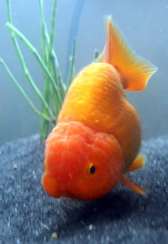 Goldfish breeds