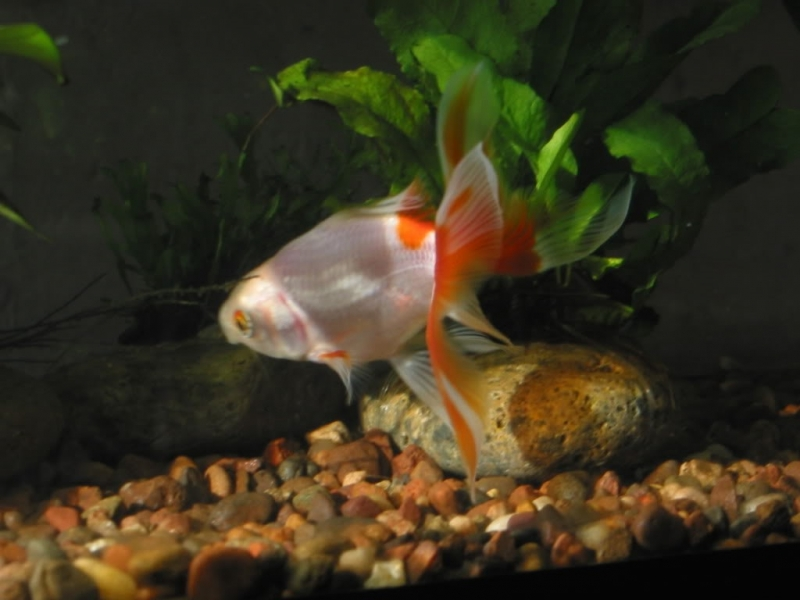 fasting our goldfish