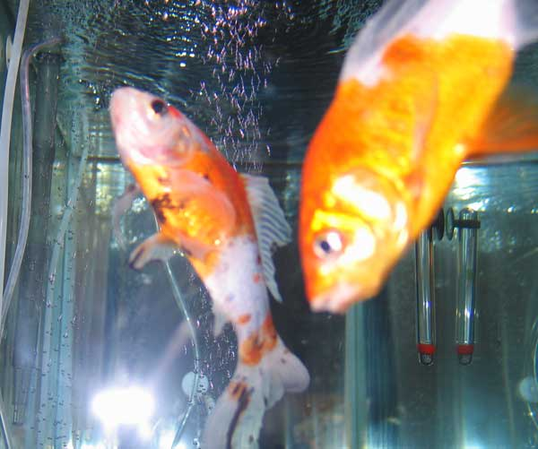 goldfish wasting away