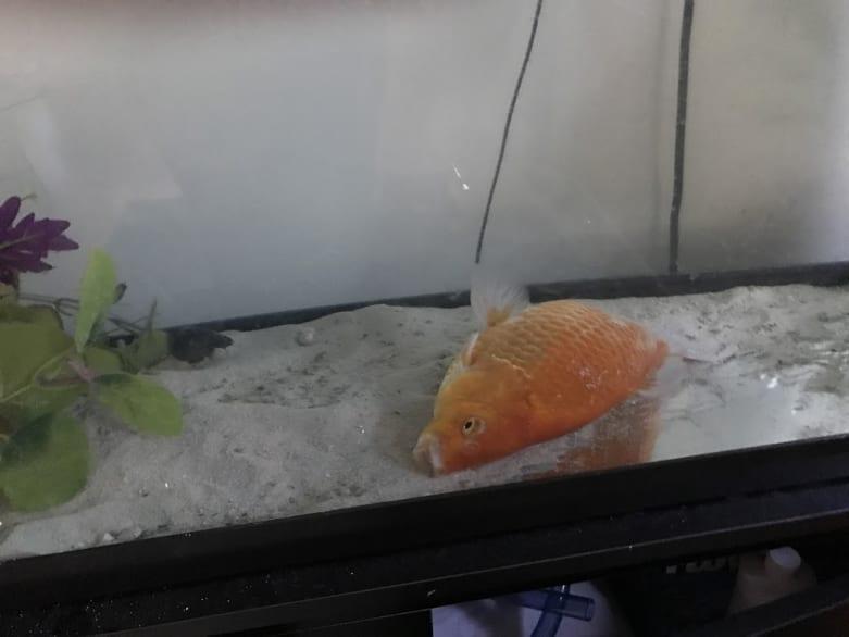 dying goldfish