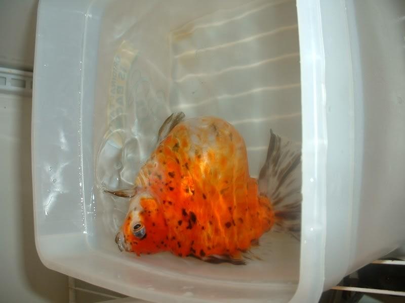 goldfish bloated