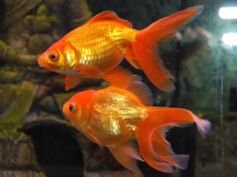 Goldfish breeds