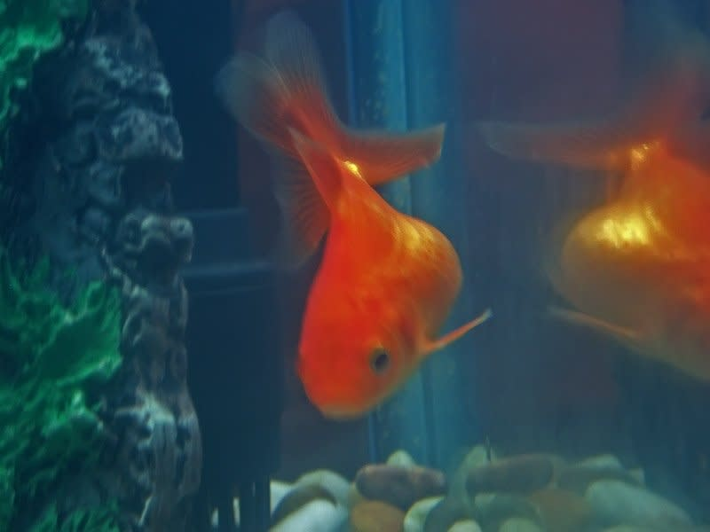 goldfish impacted with eggs