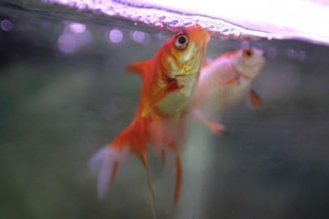 goldfish yawning