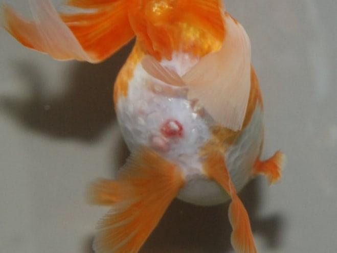 diagnose goldfish symptoms