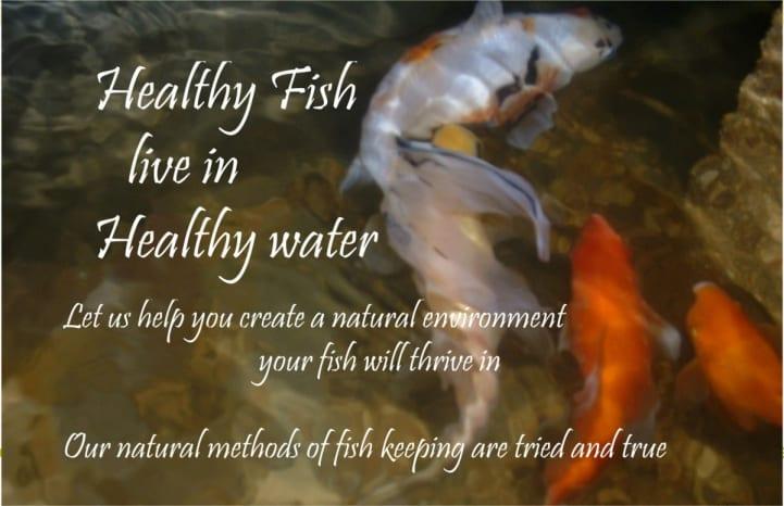 goldfish koi health
