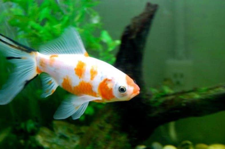 goldfish stunted growth