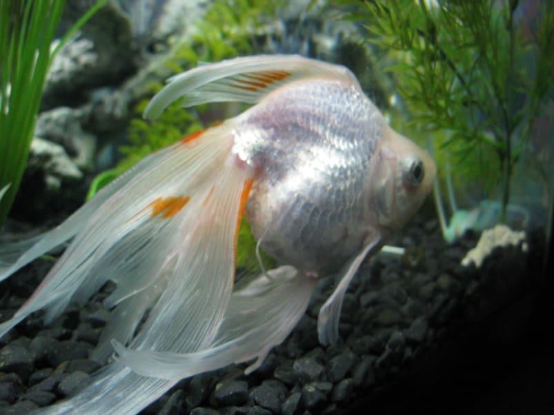 varieties of goldfish