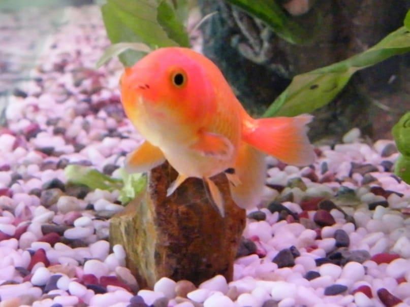shipping goldfish