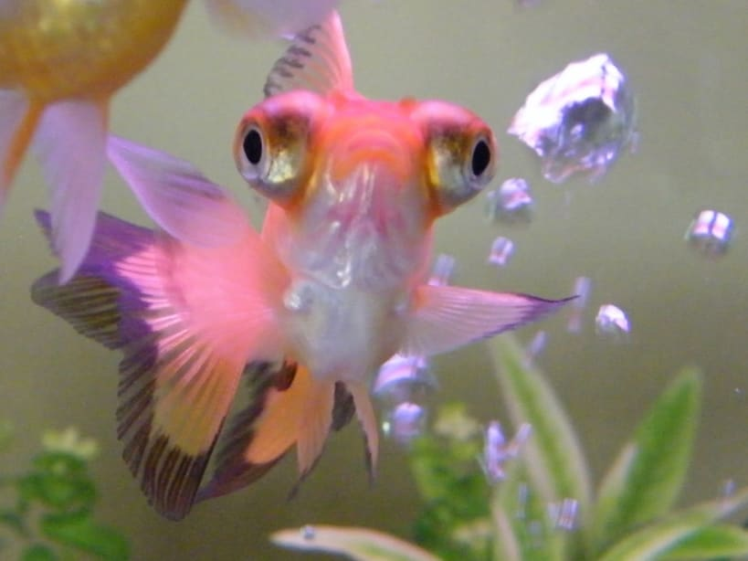 fancy goldfish breeds