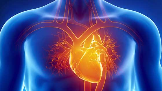 Heart and Arteries Inside Body