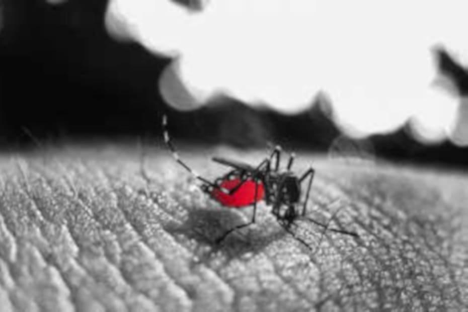 Eliminar o mosquito da dengue Ajude e siga estas dicas - destacada