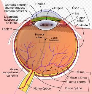 Diagrama esquemático do olho humano