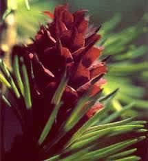Larch = flor da autoconfiança