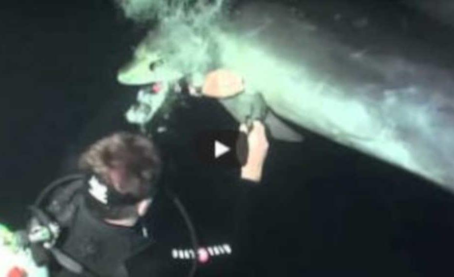 Golfinho pede ajuda para mergulhadores em vídeo incrível de resgate - destacada