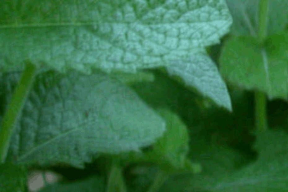 Hortelã ajuda a eliminar hematomas - destacada