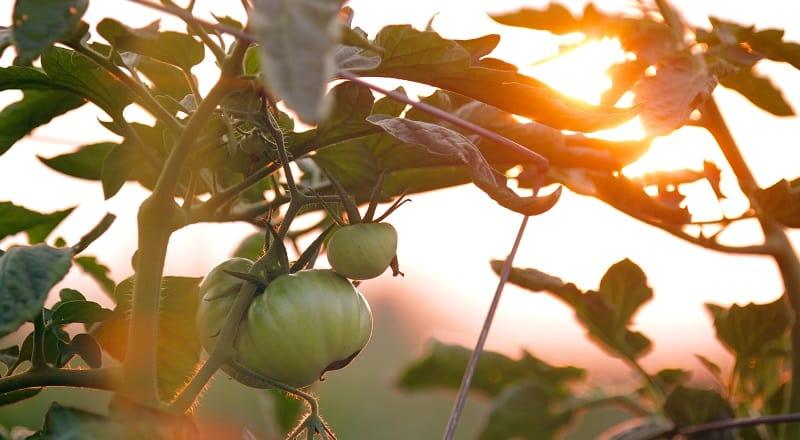 Regionale Produkte | Regionale Produkte Wildgemüse | Regionale Ernährung