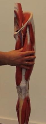 Oberschenkelvorderseite bietet viel Muskelfläche für die Faszienrolle