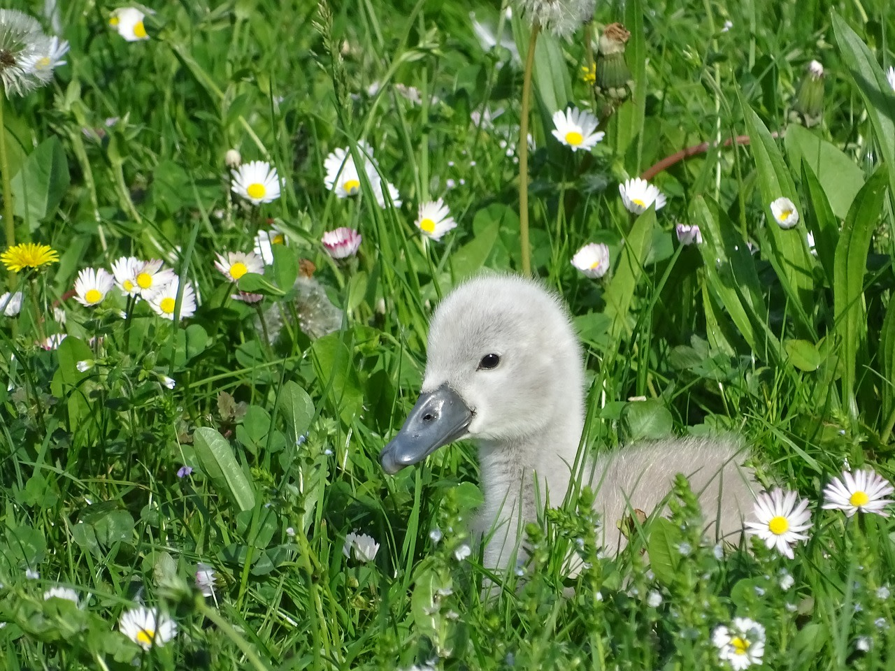 The Ugly Duckling Was Wrong