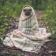 couverture carlin chien enroulé forêt