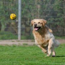 Pension pour chien golden retriever
