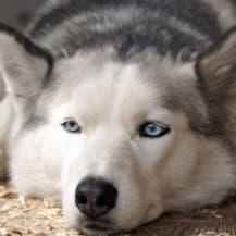 Dog sitter husky