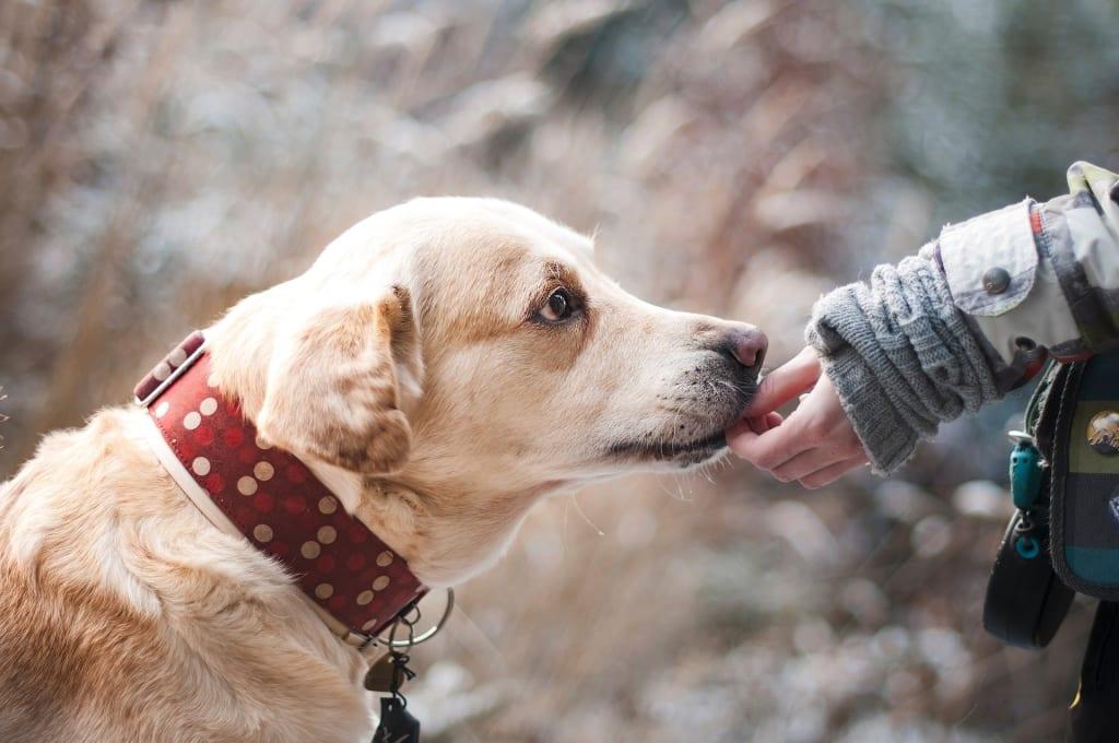 Achat impulsif animaux - labrador chien main collier rouge - Animaux - 1920x1275 - JPG