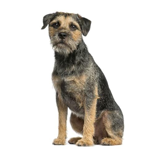 Race de chien Border Terrier