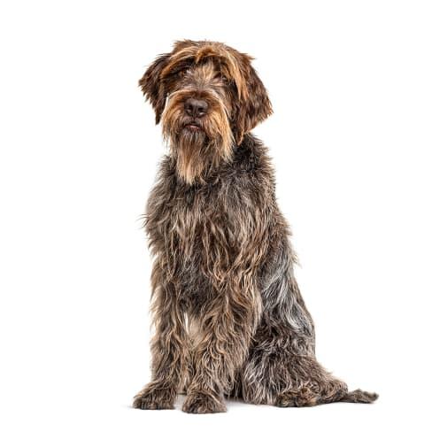 Race de chien Griffon Korthals