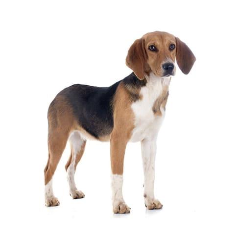 Race de chien Beagle-Harrier