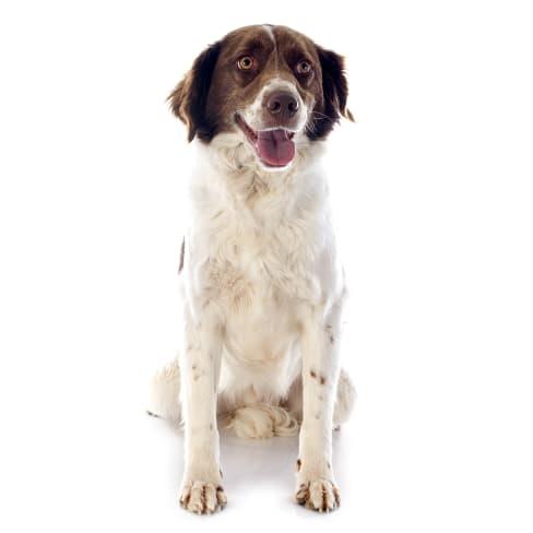 Race de chien Epagneul Français