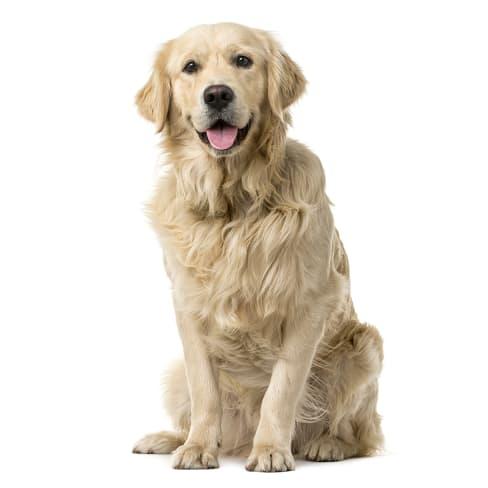 Race de chien Golden Retriever