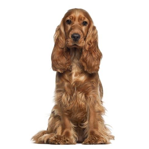 Race de chien Cocker Anglais