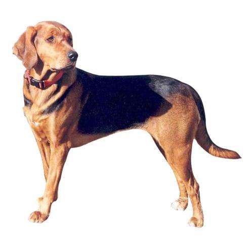 Race de chien Brachet polonais