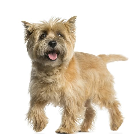 Race de chien Cairn Terrier