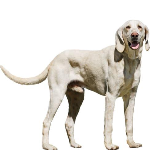 Race de chien Billy