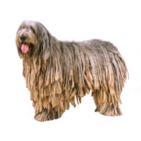 Race de chien Berger de Bergame