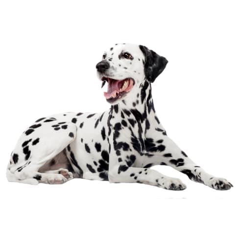 Race de chien Dalmatien