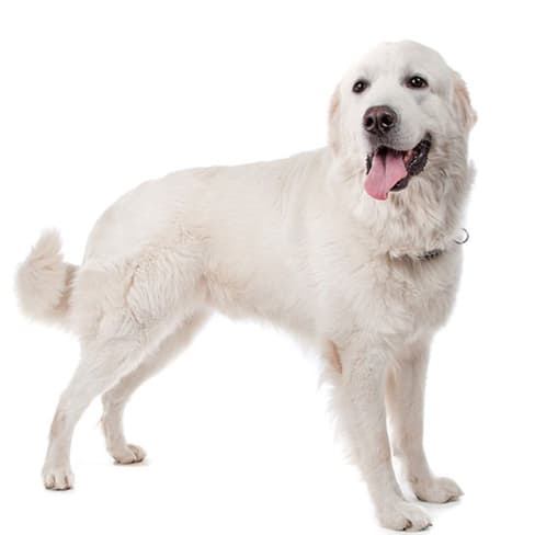 Race de chien Berger Polonais de Podhale