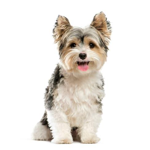 Race de chien Yorkshire Terrier