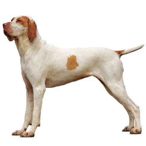 Race de chien Braque de l'Ariège