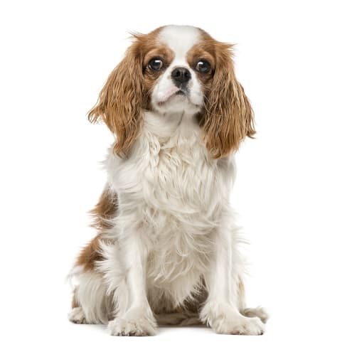 Race de chien King Charles Spaniel