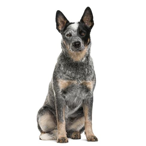 Race de chien Bouvier Australien
