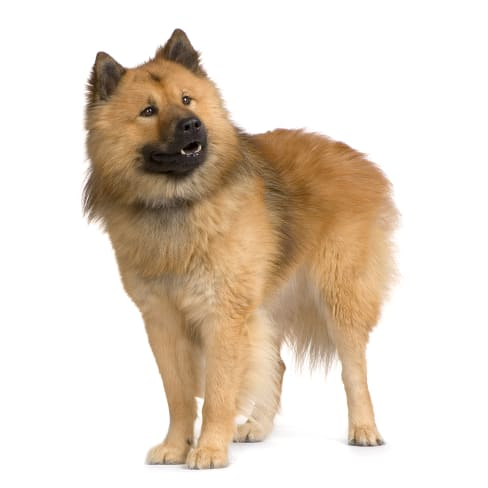 Race de chien Eurasier