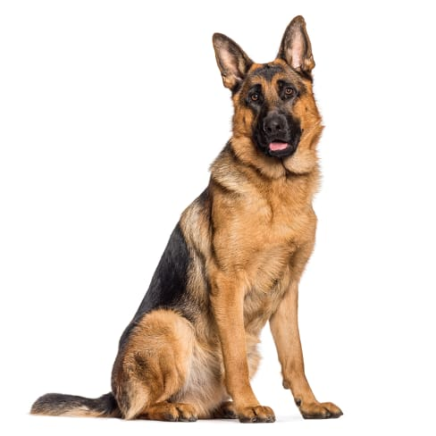 Race de chien Berger allemand