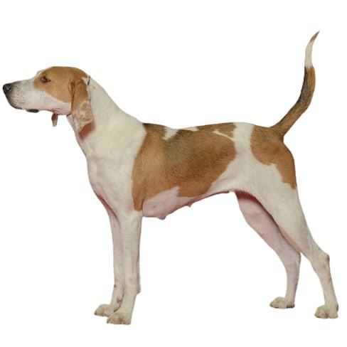 Race de chien Foxhound anglais
