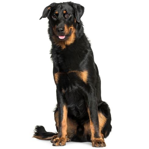 Race de chien Beauceron