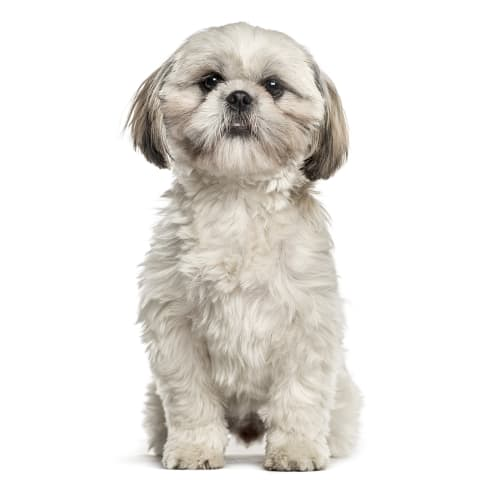 Race de chien Shih Tzu