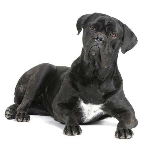 Race de chien Cane Corso