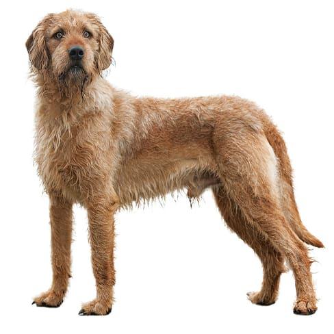Race de chien Brachet de Styrie à poil dur